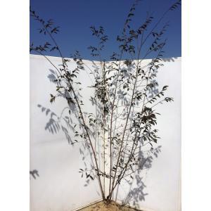 紅花常葉万作 ベニハナバナトキワマンサク 株立ち 約2m