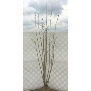 目薬の木 メグスリノキ 株立ち 約2.5m 送料無料