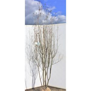 三つ葉躑躅 ミツバツツジ 株立ち 約2m