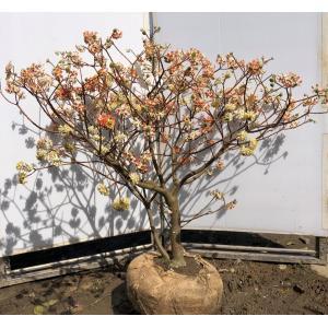 赤黄2色咲き ミツマタ 約110cm 現品発送 特大植木苗木 三又 三つ又 落葉樹 送料無料