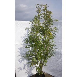 どんぐりの木 シラカシ 株立ち 約2.3m 美樹形株