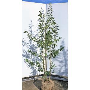 ソヨゴの木 株立ち 約2m 赤い実が成る木 お買い得なおまかせ株 常緑樹 送料無料