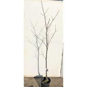柿の木 苗 太秋柿 約1.5m 大株 植木 苗木 ジャンボ甘柿