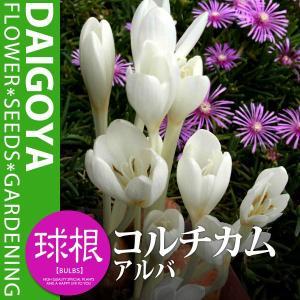 分類:ユリ科(イヌサフラン科) 規格:球根 開花時期:9月-11月 草丈:成長時 約15cm〜20c...