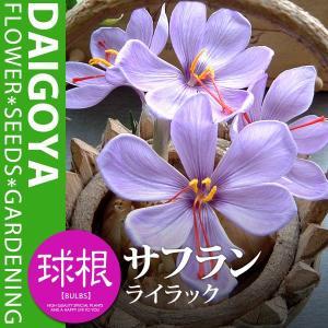 分類:アヤメ科 規格:球根 開花時期:9月-11月 草丈:成長時 約10cm〜20cm
