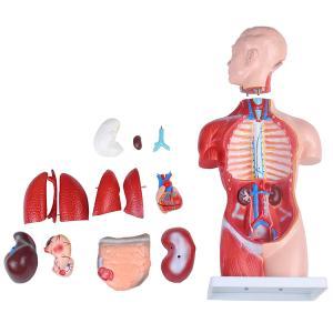 ○45cm高さのユニセックスタイプ人体模型です。 ○お腹と背中の内部が見え、各パーツ取り外し可能です...