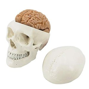 HAMILO 解剖模型 人体模型 頭部 大脳 小脳 海馬 頭蓋骨 顎 等身大 理科 模型 標本 (ホワイト)|days-of-magic