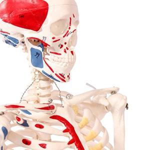 人体骨格模型 直立 スタンド 付 高精度 筋肉起始 85cm 1/2モデル - 8.3602|days-of-magic
