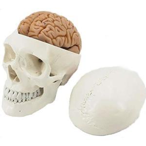 ShopXJ 頭蓋骨 頭部 人体模型 脳 立体 分解可能 医療 解剖 取り外し 4D モデル (頭蓋骨)|days-of-magic