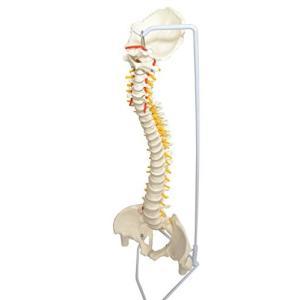MedianField 【 脊椎骨盤模型 実物大 90cm スタンド付き 】骨盤 股関節付き 模型 関節 医学 実験 実物 (脊髄 模型)|days-of-magic