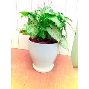 観葉植物 室内 シンゴニューム|dearhouse