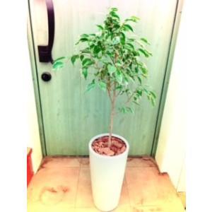 観葉植物 室内 ベンジャミン|dearhouse