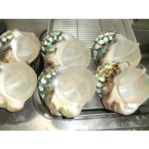 生表面磨き夜光貝殻大サイズ1012|deepseawartergm0