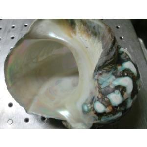 生表面磨き夜光貝殻大サイズ1022|deepseawartergm0