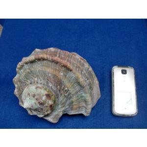 生表面磨き夜光貝殻大サイズ201802|deepseawartergm0
