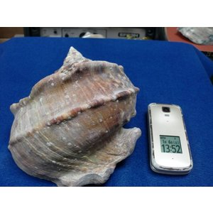 生表面磨き夜光貝殻大サイズ201805|deepseawartergm0