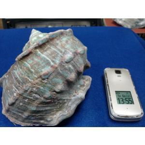 生表面磨き夜光貝殻大サイズ201806|deepseawartergm0