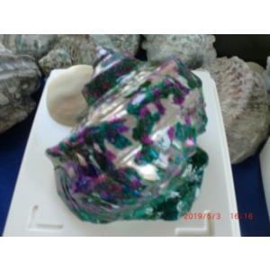 沖縄型のギリ大サイズ夜光貝偶然に素晴らしい分離カットができたA級品を模様を残しつつ真珠層出し研磨を...