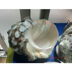生表面磨き夜光貝殻特大サイズ201801|deepseawartergm0
