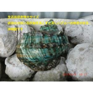 生表面磨き夜光貝殻特大サイズ201802|deepseawartergm0