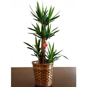 観葉植物 インテリア ユッカ・エレファンティフェス 10号バスケット仕様 delight-base