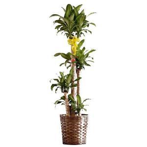 観葉植物 インテリア 幸福の木 8号バスケット仕様 delight-base