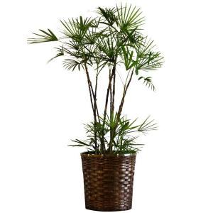 観葉植物 人気 インテリア シュロチク 10号バスケット仕様 delight-base