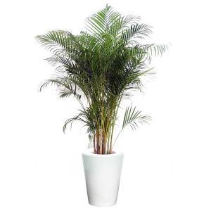 観葉植物 インテリア アレカヤシ 10号陶器鉢仕様 delight-base