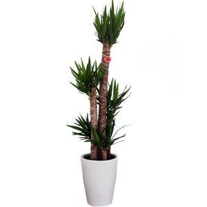 観葉植物 インテリア ユッカ・エレファンティフェス(青年の樹) 10号陶器鉢仕様 delight-base