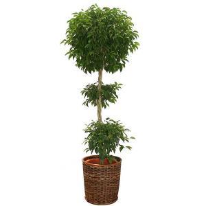 観葉植物 人気 インテリア ベンジャミン 10号バスケット仕様 delight-base
