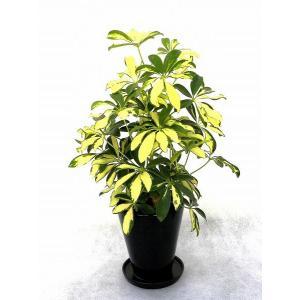 観葉植物 インテリア 創作 ホンコンカポック シェフレラ(約全高400mm) delight-base