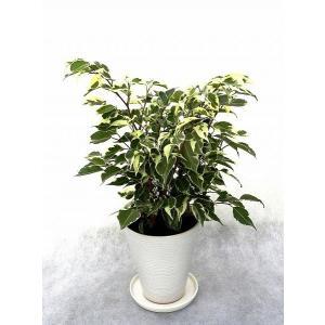 観葉植物 インテリア 創作 ベンジャミン スターライト(約全高400mm) delight-base