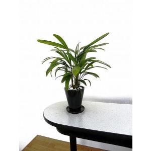 観葉植物 インテリア 創作 観音竹 (約全高400mm) delight-base