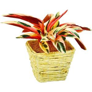 観葉植物 ストロマンテ 4号鉢 白角バスケット|delight-base