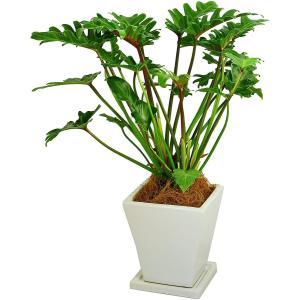 観葉植物 クッカバラ 5号鉢 白角陶器鉢|delight-base
