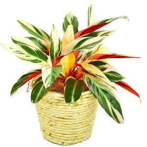 観葉植物 ストロマンテ 5号鉢 白バスケット|delight-base