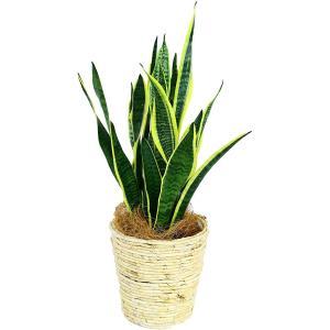 観葉植物 サンセベリア 6号鉢 白バスケットト|delight-base