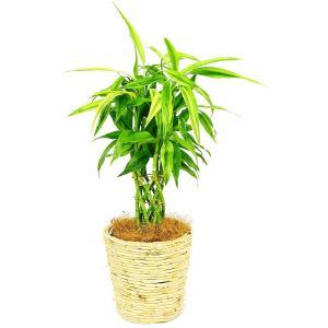 観葉植物 サンデリアーナ(幸運の竹) 6号鉢 白バスケット|delight-base