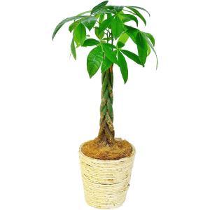 観葉植物 パキラ 6号鉢 白バスケット|delight-base