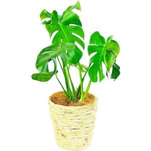 観葉植物 モンステラ 6号鉢 白バスケット|delight-base