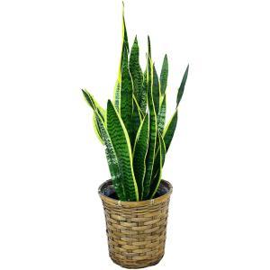 観葉植物 サンセベリア 6号鉢 バスケット(お任せカゴ)|delight-base