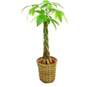 観葉植物 パキラ 6号鉢 バスケット(お任せカゴ)|delight-base