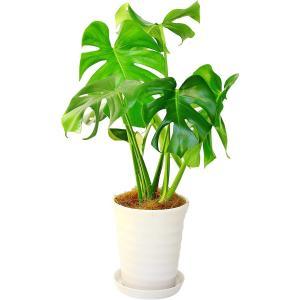 観葉植物 モンステラ 6号鉢 白丸陶器鉢|delight-base