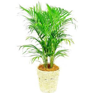 観葉植物 アレカヤシ 7号鉢 白バスケット|delight-base