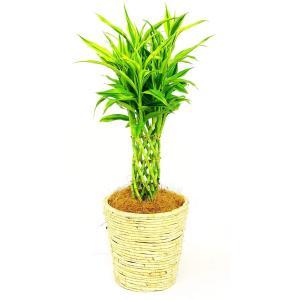 観葉植物 サンデリアーナ 7号鉢 白バスケット|delight-base