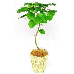 観葉植物 ウンベラータ 7号鉢 白バスケット|delight-base