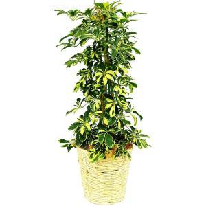 観葉植物 ホンコンカポック(黄斑入り) 7号鉢 白バスケット|delight-base