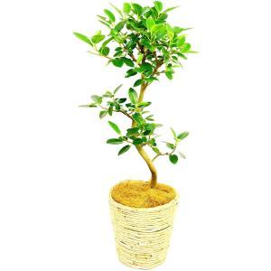 観葉植物 フランスゴム 7号鉢 白バスケット|delight-base
