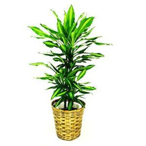 観葉植物 ドラセナ・ジェレ 7号鉢 バスケット(お任せカゴ)|delight-base