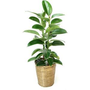 観葉植物 ゴムの木・ロブスター 8号鉢 バスケット(お任せカゴ)|delight-base
